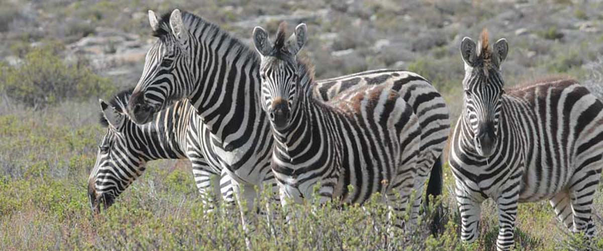 photo of zebras