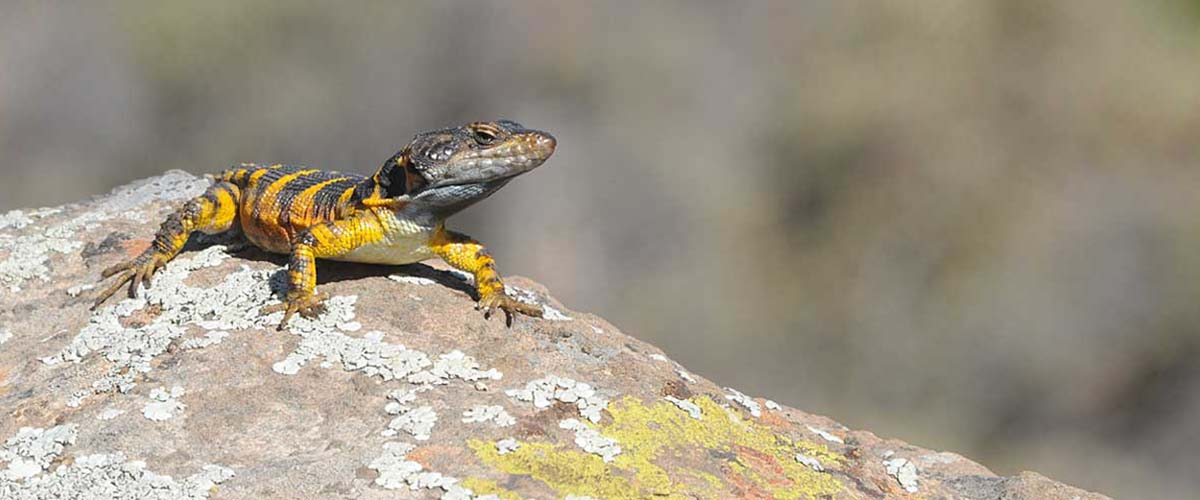 photo of Cape Crag Lizard